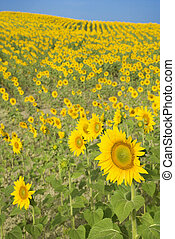 Sunflower field. - Sunflowers growing in field in Tuscany,...