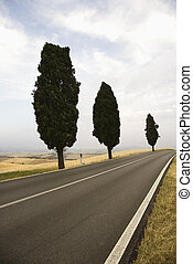 Cypress trees along road - Three Mediterranean Cypress trees...