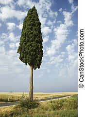 Lone Cypress tree - One cypress tree in field in Tuscany,...