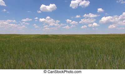 green field blue speedy sky - wheat green field landscape...