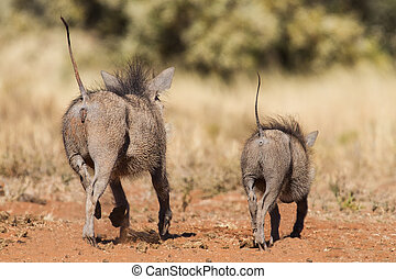Two warthogs running away with tails errect in dry nature