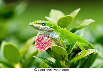 Green Anole lizard (Anolis carolinensis) showing off his...