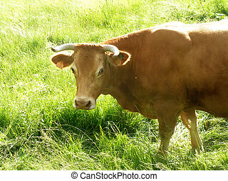 A Limousin cow