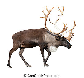 male reindeer over white - Large male reindeer Isolated over...