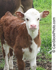 Nosey calf - Hereford calf front on,looking at camera