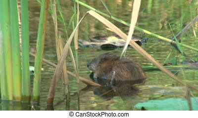 Water rat in a pond