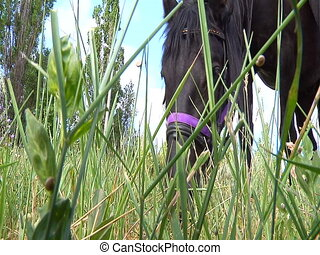 Black horse eats grass