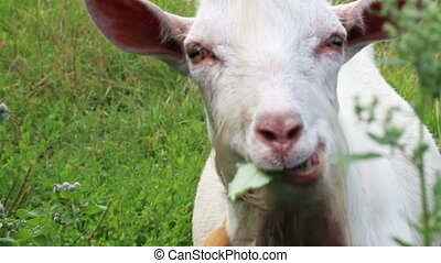 white goat looking to you