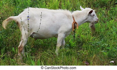 grazing white goat
