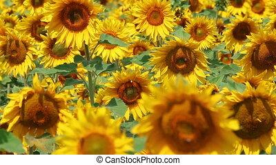 blossom sunflowers