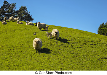 Healthy sheep in a green grassy paddock. a small flock of...