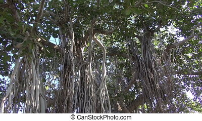 banyan tree in Jaipur,India - banyan tree in Jaipur...