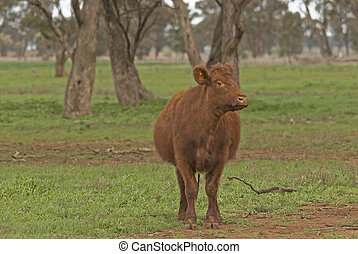 mammal - a close-up of a lone cow in rural field