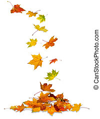 Maple leaves falling - Maple autumn leaves falling to the...
