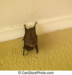 Fruit Bat - A small bat hanging under the eave of a building