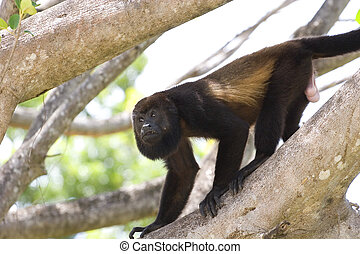 Howler Monkey on Limb - A male howler monkey climbing down a...