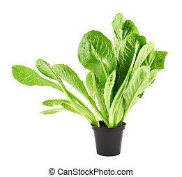 Roman salad lettuce leaves isolated