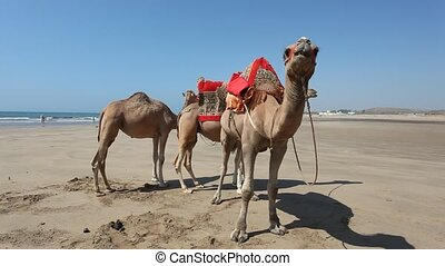 Camels on the beach in Morocco - Camels on the beach in...