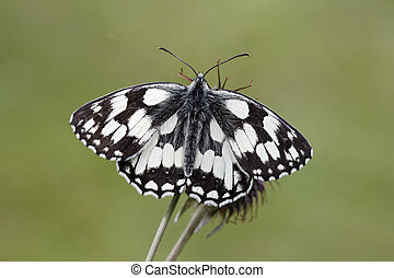 Marbled white, Melanargia galathea, single insect, Midlands,...