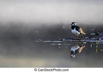 Northern lapwing, Vanellus vanellus, single bird by water in...