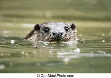 Otter, Lutra lutra, single animal head shot in water,...