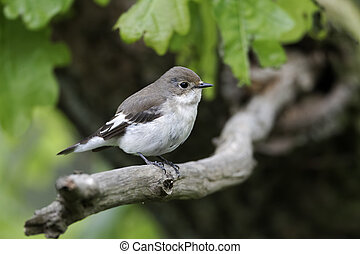Pied flycatcher, Ficedula hypoleuca, single female on...