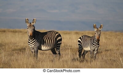 Cape Mountain Zebras - A pair of Cape Mountain Zebras (Equus...
