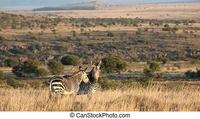 Cape Mountain Zebras Equus zebra in natural habitat,...