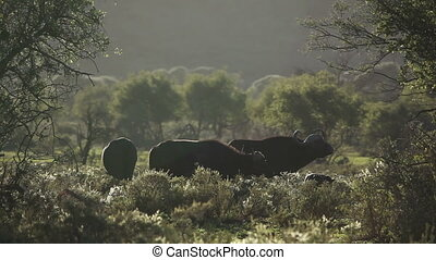 Grazing African buffaloes - African buffalos (Syncerus...