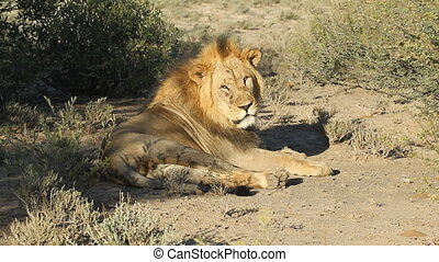 Male African lion - Big male African lion Panthera leo...