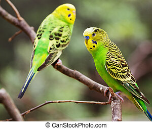 Colorful parakeets on branch - Colorful parakeets resting on...