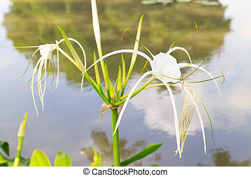 Spider lily - A spider lilies blooming in the poolside.