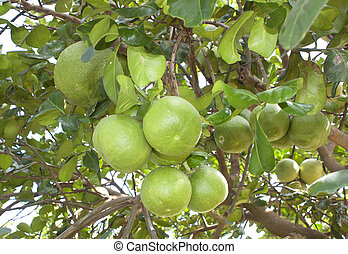Pomelo fruit tree in the garden green.