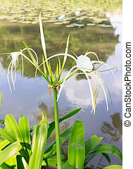 Spider lily - A spider lilies blooming in the poolside