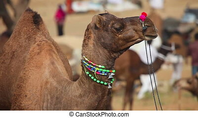 Camel - Decorated camel chewing his food at the Pushkar...