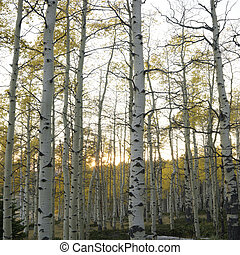 Aspen trees in Fall color - Aspen trees in Fall color in...