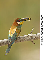 Merops apiaster with a green background