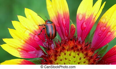 Beetle - Black-red beetle on the yellow-red  flower.