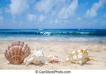 Seashells on a beach - Few seashells on a sandy beach by the...