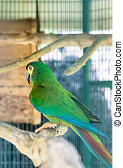Green macaw with black beak on perch