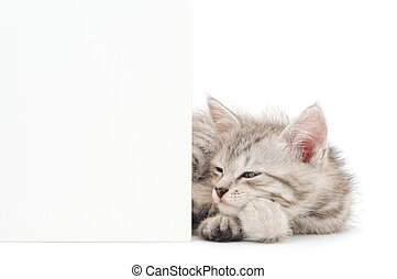 Kitten with blank - Pretty kitten peeking out of a blank...