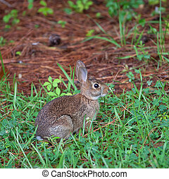 Young rabbit - Cottontail near the grass and pine needles...