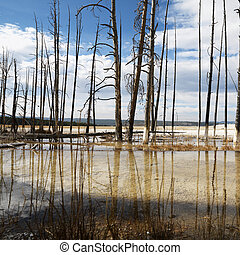 Yellowstone National Park. - Dead trees in shallow water...
