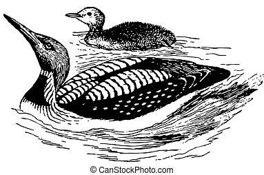 Bird Black-throated Loon with nestling