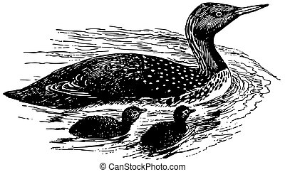 Bird Red-throated Loon with nestlings