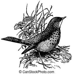 Bird Grey-cheeked Thrush in the grass
