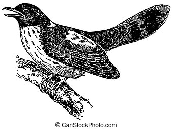 Bird Hodgson's Hawk-Cuckoo on the branch