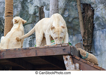 White Lion - Young white lions on the table in Khao Kheow...