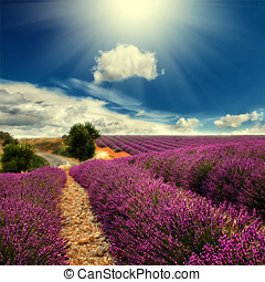 lavender field  - Beautiful image of lavender field