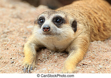 Meerkat is open Zoo Khao Kheow, Thailand.